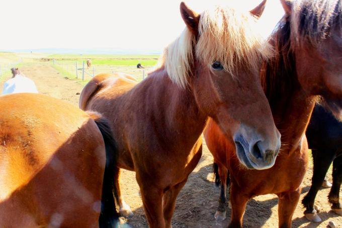 My favorite Icelandic horse